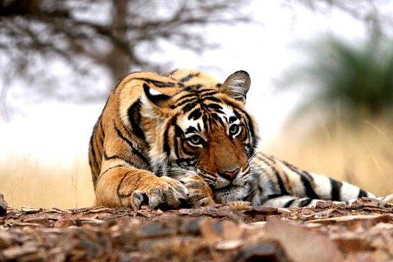 Overnight Private Safari Trip to Ranthambore National Park with Shared Safari Photo
