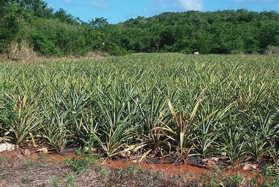 Eleuthera Pineapple Farm Tour