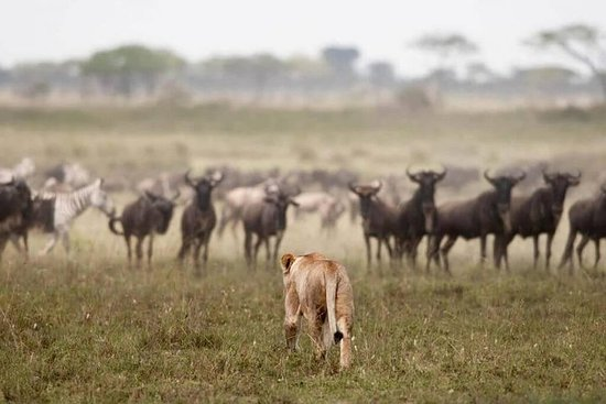 7 Days / 6 Nights Northern Serengeti Wildebeest Migration Private Safari Resmi