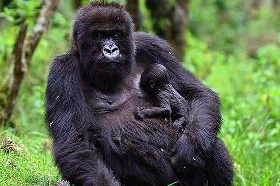1天大猩猩徒步旅行