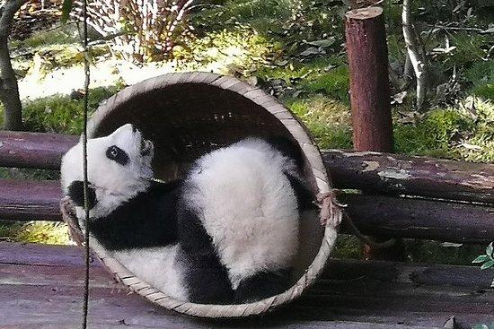 Base di Chengdu Panda di 3 giorni e visita del Buddha di Leshan con