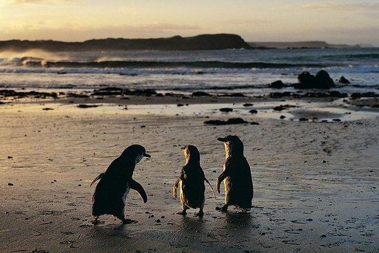 菲利普岛企鹅游行一日游与考拉和野生动物公园