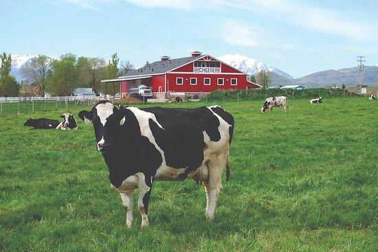 Meet the Cows - Dairy Barn Tour
