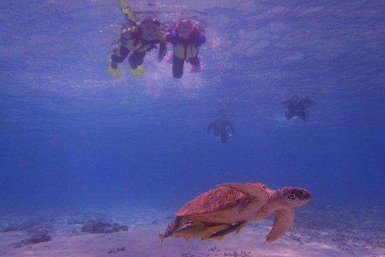 Schildkröten schwimmen mit Meeresschildkröten auf den Kerama-Inseln