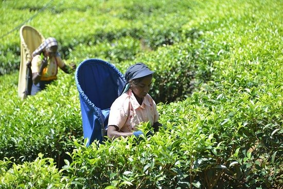 Vergin White Tea Plantation fra Colombo...