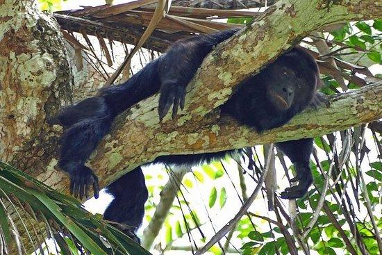 Visite de la rivière des singes (avec transport depuis Hopkins)