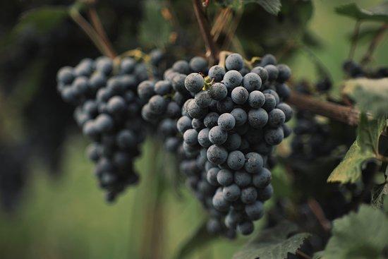 Kakheti Region, Georgia: Georgian Legend Wine - Harvest 2019