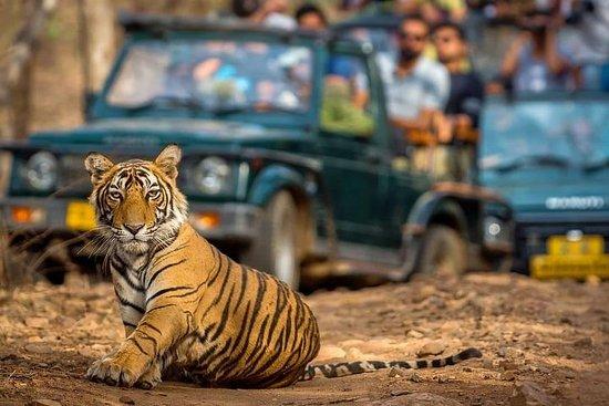 来自斋浦尔的Ranthambore一日游 - 一个带导游的私人汽车之旅