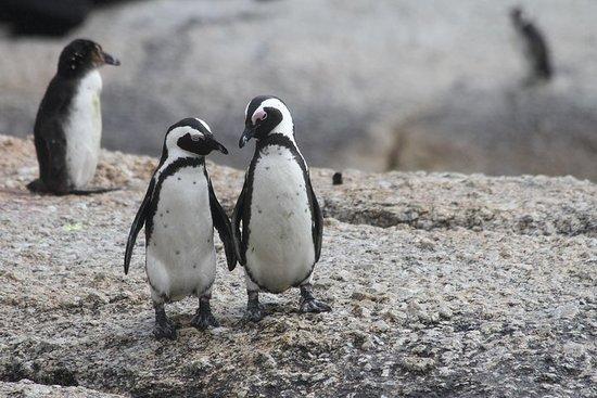 好望角巨石海灘企鵝和酒