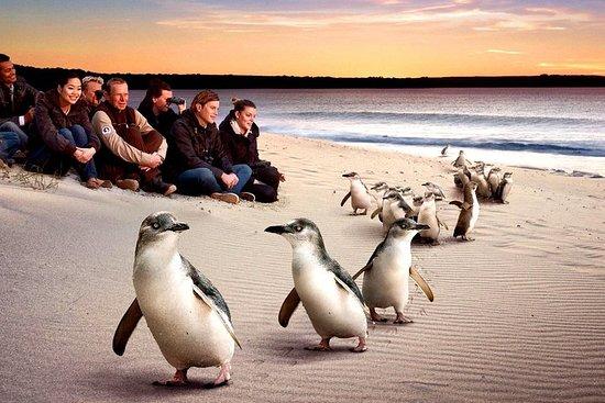 """[私人游]""""企鹅游行""""菲利普岛游。"""