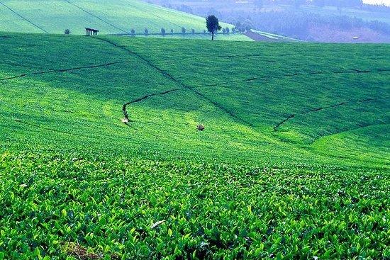 Nairobi Day Tour till Kiambethu Tea ...