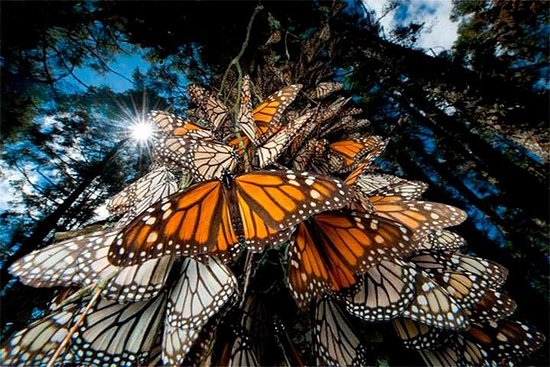 MONARCH BUTTERFLY SANCTUARY AND COSMOVITRAL PRIVATE TOUR from Mexico...