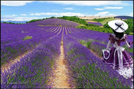Visit the fields of lavender and the...