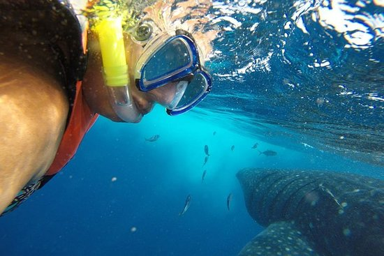Tour di Half Day Whale Shark da Playa