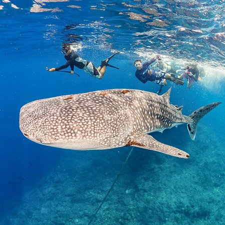 Surface encounter with whaleshark