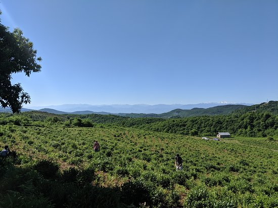 Renegade Tea Estate