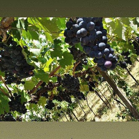 As uvas já estão quase madurinhas