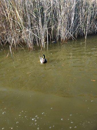 Pato posando