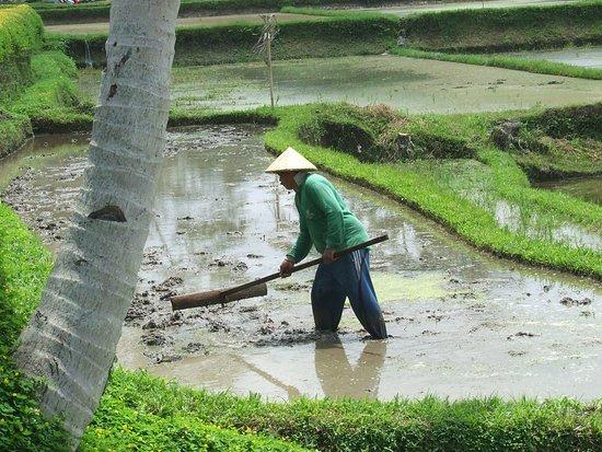 Le vrai travail dans la rizière, juste à coté ...