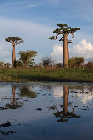 Baobab reflections in the water!