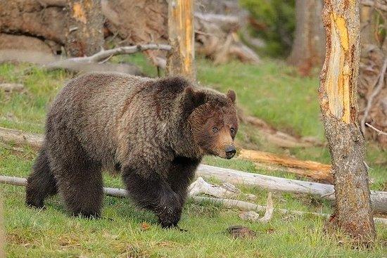 Foto Yellowstone Custom Wildlife and Nature Tour