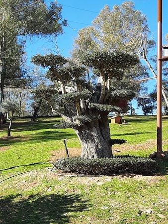Jardín de olivos.