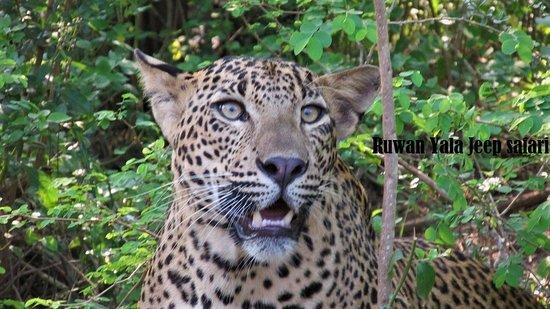 Debarawewa, ศรีลังกา: leopard