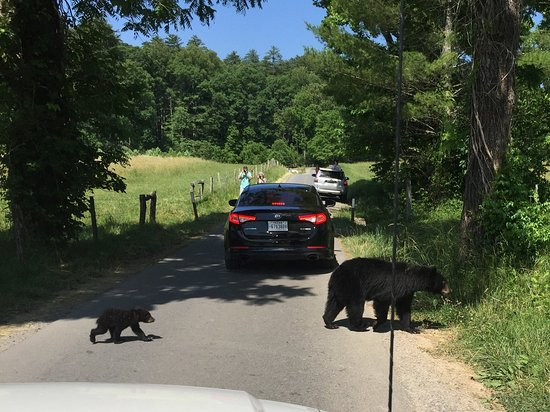 """Momma Bear and the first of three cubs crossing the road.  She never made a sound, just gave them """"the look!"""""""