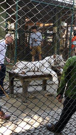 Tiger Kingdom - Chiang Mai