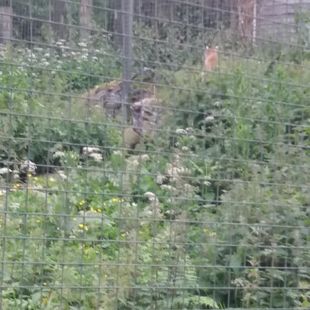A day out at The Highland Wildlife Park.... 🦊🦌🐂🐏🦇🐿🐾🦅🦆🦋🐌🐜🐝🐞🌷⚘🌲🌳🌿☘🍀🍃 (July 2017)