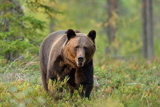 Experiencia de avistamientos de osos...