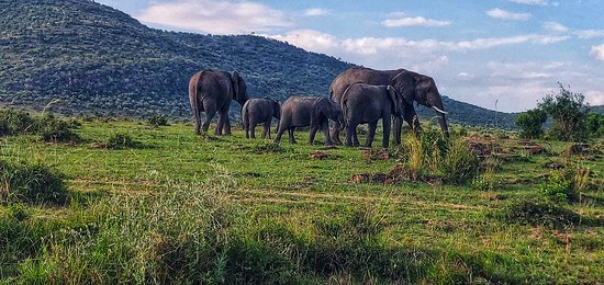 Masai Maran kansallinen suojelualue, Kenia: A herd of elephants along with their calves. Generally calm, we got pretty close to them with our vehicle