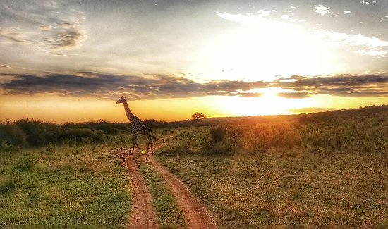 Masai Maran kansallinen suojelualue, Kenia: Managed to capture this great shot of a baby giraffe against the setting sun. It was blocking our route so we just had to wait.