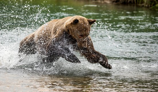 The chase for Salmon