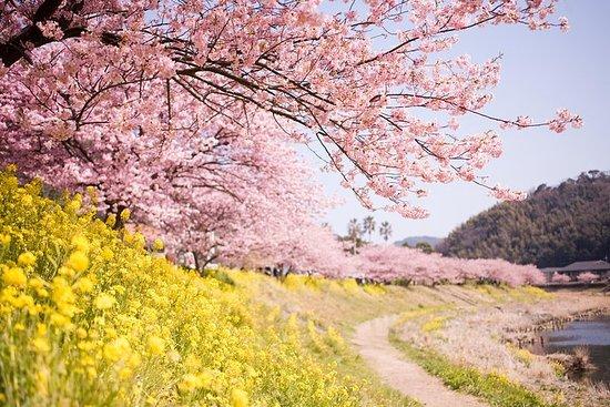 Kawazu Cherry Blossom Festival & Strawberry Picking from Tokyo