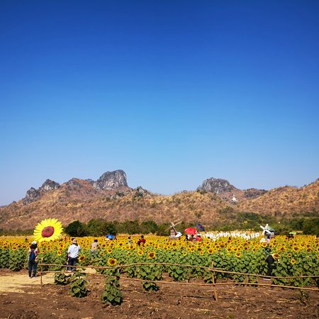 ‪Khao Chin Lae Sunflower Field‬