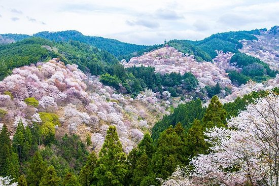 Nara Cherry Blossoms: Day Trip to Mt Yoshino from Osaka