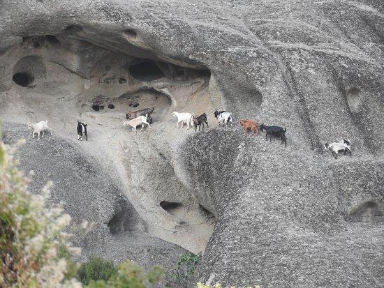 Goats exploring Meteora