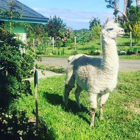 Isla Quinchao, شيلي: Una integrante zafira😘