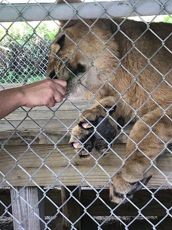 7 month old lion cub