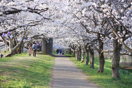 福岡堰さくら公園:福岡堰の桜のトンネル