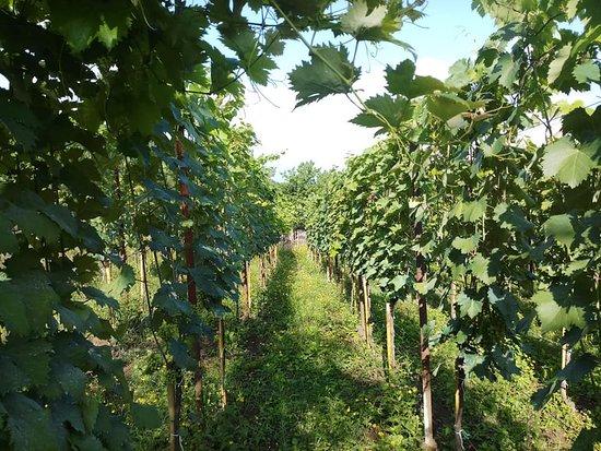 Kakheti Region, Georgia: Vineyard