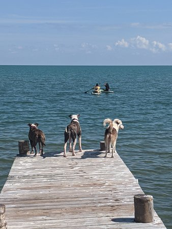Dogs watching the kids kayak out