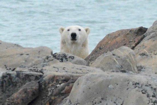Nanuqtours urso polar expresso