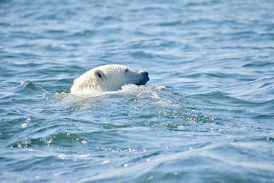 Ursos polares de barco