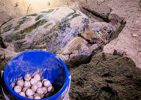 Pulau Selingan, Maleisië: After laying 112 eggs the female green turtle was exhausted! To secure maximum survival the eggs were taken by the rangers and replanted in a hatchery nearby.