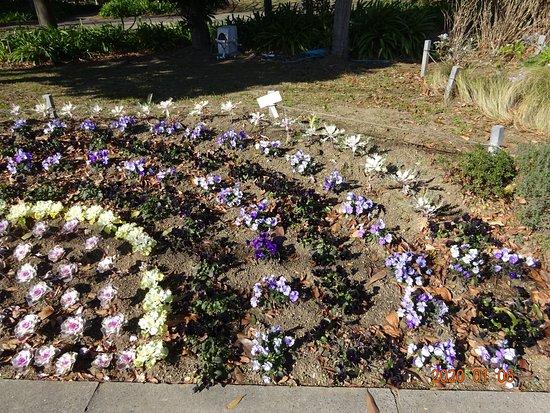 公共の花壇に、黒い花を入れるのが、大好きな公園美化ボランテイアのつくる正月花壇。いつものことですが、計画性がないので、地面が見えてスカスカです。立派な温室もあるはずなのに。  黒いところは、ゴミでも陰じゃありません。白黒紫といった、陰気な色彩と、10年以上全く変わらないこのデザインのこの公園花壇を褒めちぎる市民が大勢います。