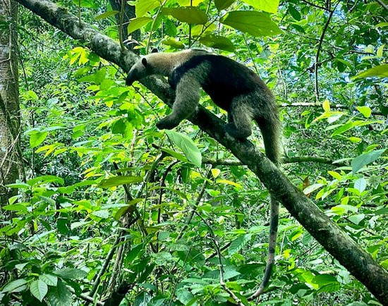 Sierpe Outfitters: Anteater chasing termites!