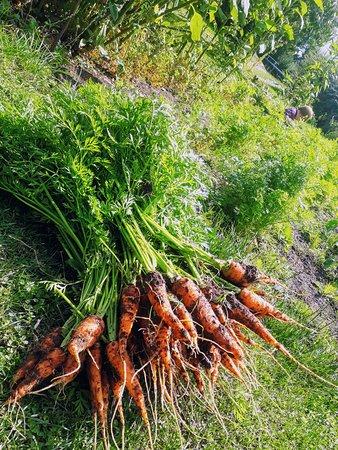 Carrot crop