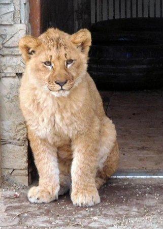 kid lion